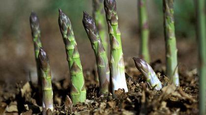 coltivazione-asparagi_NG4