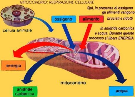 mitocondrio.JPG