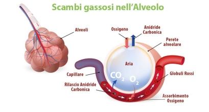 scambioossigeno-anidridecarbonicanellalveolopolmonare.jpeg
