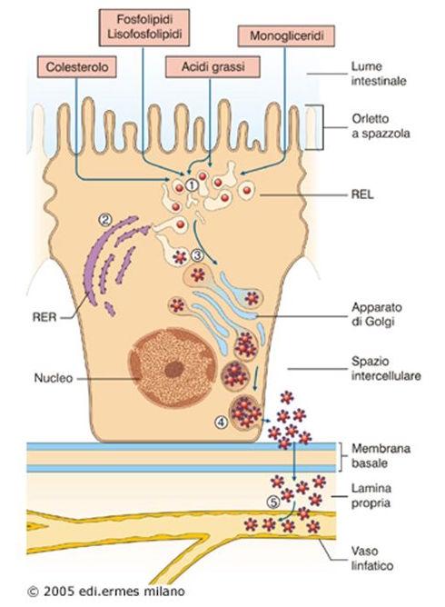 All'interno+dell'enterocita+nel+reticolo+endoplasmatico+liscio+si+formano+nuovi+trigliceridi+che+si+aggregano.