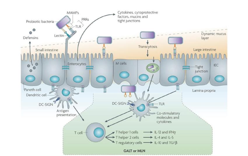 Riconoscimento da parte dei PRRs dei batteri