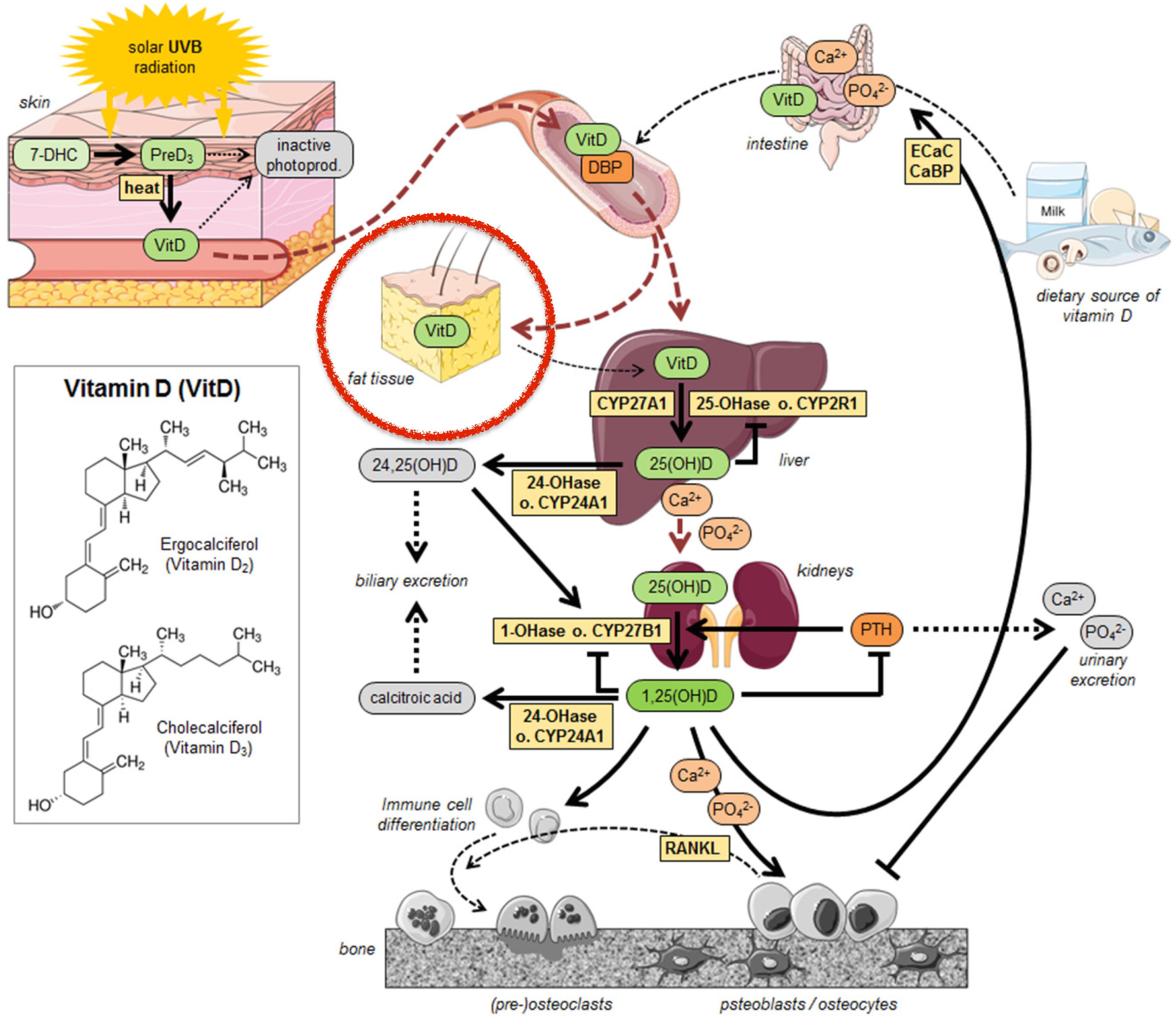 Figura 22 - Sequestro della vitamina D da parte del tessuto adiposo