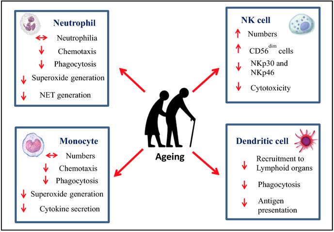 Figura 8 - Alterazioni legate all'età delle delle cellule del sistema immunitario- innatee innateAge related alterations in innate immune cells https://link.springer.com/article/10.1007/s10522-018-9771-7