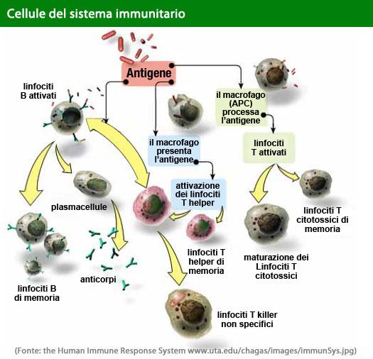 Cellule del sistema immunitario
