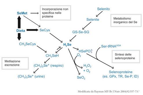 Figura 13 - Azione fisiologica del Selenio alimentare